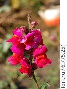 Цветок Львиный зев. Стоковое фото, фотограф Мария Мухина / Фотобанк Лори