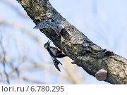 Купить «Дятел белоспинный, Dendrocopos leucotos, White-backed Woodpecker», фото № 6780295, снято 1 марта 2014 г. (c) Василий Вишневский / Фотобанк Лори