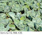 Грядка с белокочанной капустой. Выращивание овощей. Сельское хозяйство. Стоковое фото, фотограф Daniela / Фотобанк Лори