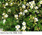 Лапчатка кустарниковая - маленькие белые садовые цветы. Стоковое фото, фотограф Daniela / Фотобанк Лори