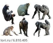 Купить «Set of gorillas and monkeys», фото № 6810495, снято 20 ноября 2019 г. (c) Яков Филимонов / Фотобанк Лори