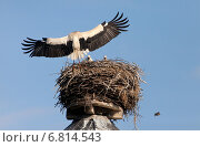 Rühstädt, Germany, a stork returns with food for the pups back to the nest. Стоковое фото, агентство Caro Photoagency / Фотобанк Лори