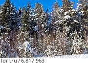 Купить «Заснеженные ели в лесу», фото № 6817963, снято 2 февраля 2014 г. (c) Евгений Ткачёв / Фотобанк Лори