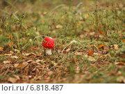 Маленький красный гриб мухомор на полянке в лесу осенью. Стоковое фото, фотограф Антонина Морозова / Фотобанк Лори