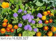 Купить «Клумба из однолетних цветов», эксклюзивное фото № 6820327, снято 23 июля 2014 г. (c) Елена Коромыслова / Фотобанк Лори