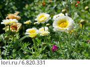 Купить «Хризантема корончатая махровая (лат. Chrysanthemum coronarium) среди садовых цветов», эксклюзивное фото № 6820331, снято 23 июля 2014 г. (c) Елена Коромыслова / Фотобанк Лори