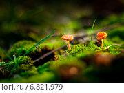 Купить «Миниатюрные грибы, растущие на мху», фото № 6821979, снято 20 октября 2012 г. (c) Tatiana Tetereva / Фотобанк Лори