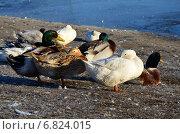 Утки на берегу озера. Стоковое фото, фотограф Юлия Лекомцева / Фотобанк Лори