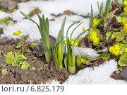 Купить «Ростки нарцисса (лат. Narcissus) весной», эксклюзивное фото № 6825179, снято 5 апреля 2014 г. (c) Елена Коромыслова / Фотобанк Лори