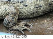 Купить «Кайман в Коста-Рике. Задняя лапа крокодила (аллигатора) крупным планом», фото № 6827095, снято 31 марта 2010 г. (c) Олег Елагин / Фотобанк Лори