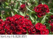 Купить «Шмель (Bombus) на цветке турецкой гвоздики ( Dianthus barbatus)», эксклюзивное фото № 6828851, снято 14 июня 2014 г. (c) Алёшина Оксана / Фотобанк Лори