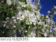Цветение яблони. Стоковое фото, фотограф Мельникова Надежда / Фотобанк Лори