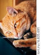 Купить «Портрет красивого рыжего кота», фото № 6835691, снято 19 ноября 2014 г. (c) g.bruev / Фотобанк Лори