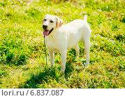 Белый лабрадор ретривер стоит на траве. Стоковое фото, фотограф g.bruev / Фотобанк Лори
