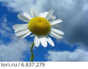 Купить «Нивяник обыкновенный, или Ромашка луговая (L. vulgare Lam) на фоне голубого неба с облаками», эксклюзивное фото № 6837279, снято 18 июля 2012 г. (c) lana1501 / Фотобанк Лори