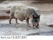 Купить «Декоративная карликовая свинка (мини-пиг)», эксклюзивное фото № 6837891, снято 12 августа 2012 г. (c) Щеголева Ольга / Фотобанк Лори