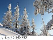 Ели в инее на фоне синего неба. Стоковое фото, фотограф Попов Роман / Фотобанк Лори