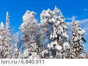 Купить «Зимний лес с заснеженными деревьями на фоне голубого неба», фото № 6840911, снято 2 февраля 2014 г. (c) Евгений Ткачёв / Фотобанк Лори