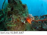 Купить «Индийская крылатка (common lionfish, devil firefish, pterois miles) - опасная ядовитая рыба», фото № 6841647, снято 11 февраля 2013 г. (c) Сергей Дубров / Фотобанк Лори