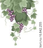 Купить «Виноградная лоза», иллюстрация № 6842255 (c) Бутинова Елена / Фотобанк Лори