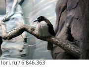 Небольшая тропическая птица с большим клювом и пушистым белым оперением на груди. Самка малой райской птицы (Paradisaea minor) (2012 год). Редакционное фото, фотограф Щеголева Ольга / Фотобанк Лори