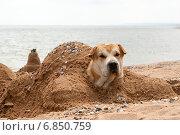 Собака лежит, закопанная в песке на пляже. Стоковое фото, фотограф Алексей Маринченко / Фотобанк Лори