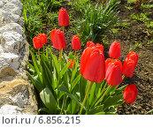 Купить «Алые (красные) тюльпаны на клумбе в ясную погоду», фото № 6856215, снято 4 мая 2014 г. (c) Григорий Белоногов / Фотобанк Лори