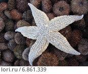 Морская звезда. Стоковое фото, фотограф Василий Слободенюк / Фотобанк Лори