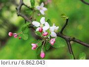 Весенние цветы на дереве. Стоковое фото, фотограф Анастасия Андрюхина / Фотобанк Лори