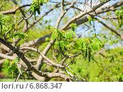 Цветущий маньчжурский орех (Juglans mandshurica) Стоковое фото, фотограф Алёшина Оксана / Фотобанк Лори
