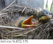 Купить «Птенцы дрозда в гнезде», фото № 6872175, снято 16 мая 2013 г. (c) Савко Вадим Геннадиевич / Фотобанк Лори