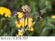 Купить «Стрекоза перевязанная - Симпетрум перевязанный (Sympetrum pedemontanum). Самка», эксклюзивное фото № 6876707, снято 28 июля 2012 г. (c) Алёшина Оксана / Фотобанк Лори