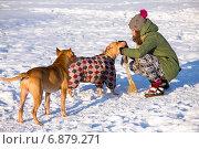 Купить «Молодая женщина играет с двумя американскими питбультерьерами на улице зимой», фото № 6879271, снято 7 января 2015 г. (c) Сергей Лаврентьев / Фотобанк Лори