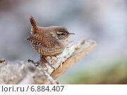 Купить «Крапивник. Eurasian Wren (Troglodytes troglodytes)», фото № 6884407, снято 29 марта 2014 г. (c) Василий Вишневский / Фотобанк Лори
