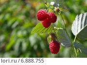 Спелые ягоды малины. Стоковое фото, фотограф Виталий Горелов / Фотобанк Лори