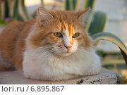 Рыжий с белым пушистый уличный кот. Стоковое фото, фотограф Лада Иванова / Фотобанк Лори