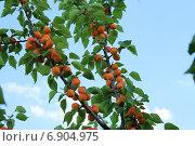 Абрикос обыкновенный (Prúnus armeniáca) на ветке с листьями. Стоковое фото, фотограф Марина Зубрицкая / Фотобанк Лори