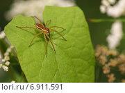 Купить «Самец паука Охотника каемчатого (Dolomedes fimbriatus)», эксклюзивное фото № 6911591, снято 8 июля 2012 г. (c) Самохвалов Артем / Фотобанк Лори