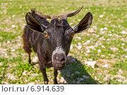 Любопытная коза. Стоковое фото, фотограф Вадим Козуренко / Фотобанк Лори