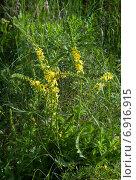 Купить «Agrimonia eupatoria, репейничек аптечный», фото № 6916915, снято 22 июня 2014 г. (c) Короленко Елена / Фотобанк Лори