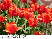 Красные тюльпаны, фото № 6921107, снято 21 мая 2005 г. (c) Борис Заманский / Фотобанк Лори
