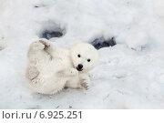 Купить «Медвежонок по имени Шилка, Новосибирский зоопарк», фото № 6925251, снято 23 марта 2014 г. (c) Швайгерт Екатерина / Фотобанк Лори