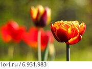 Купить «Красный тюльпан с желтыми краями», фото № 6931983, снято 15 мая 2011 г. (c) Tatiana Tetereva / Фотобанк Лори