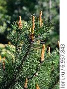 Купить «Сосна горная (лат. Pinus mugo). Хвоя и почки крупным планом», фото № 6937843, снято 21 января 2014 г. (c) Сергей Трофименко / Фотобанк Лори