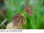 Купить «Молодая веточка клена в лесу весной», фото № 6952939, снято 20 апреля 2013 г. (c) Сурикова Ирина / Фотобанк Лори