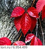 Багровый лист. Стоковое фото, фотограф Котылко Марина / Фотобанк Лори