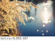 Купить «Сухой тростник над водой», фото № 6955187, снято 28 сентября 2014 г. (c) Икан Леонид / Фотобанк Лори