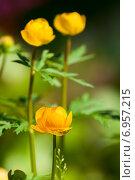 Купить «Желтая купальница», фото № 6957215, снято 12 июня 2014 г. (c) Юлия Бабкина / Фотобанк Лори