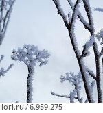Веточка дерева в снегу. Стоковое фото, фотограф Анастасия Гамова / Фотобанк Лори