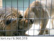 Лев и львица за решёткой. Стоковое фото, фотограф Оксана Алексеенко / Фотобанк Лори